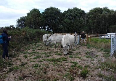 Cattle grazing introduced to Talbot Heath