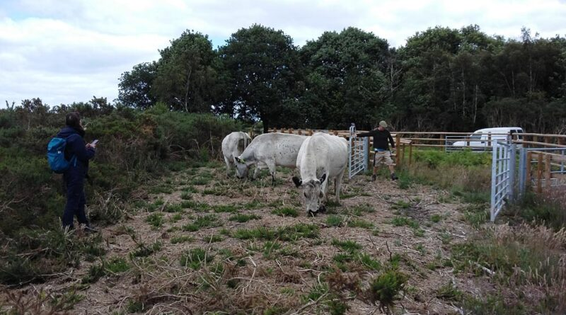 Talbot heath cattle